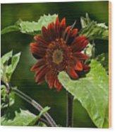 Burgundy Red Sunflower Wood Print