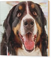 Burmese Mountain Dog Wood Print