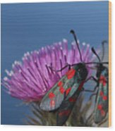 Burnet Moths Wood Print