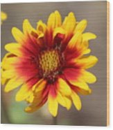 Butter Yellow And Crimson Red Coneflower Wood Print