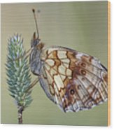 Butterfly - Meadow Satyrid Wood Print