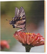 Butterfly And Orange Zinnia Wood Print