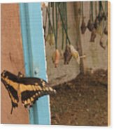 Butterfly Drying His New Wings Wood Print
