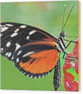 Butterfly  Golden Helicon Wood Print