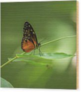 Golden Helicon Butterfly Wood Print