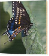 Butterfly Laying Eggs Wood Print