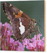 Butterfly-licking Wood Print