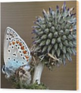 butterfly on a Echinops adenocaulon Wood Print