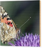 butterfly on a Silybum marianum I Wood Print