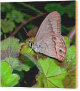 Butterfly On Geranium Leaf Wood Print