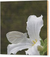 Butterfly On Trillium  Wood Print