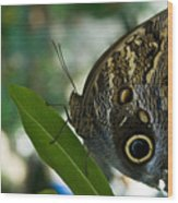 Butterfly Sitting Wood Print