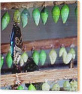 Butterfly With Butterfly Chrysalis 1 Wood Print