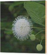 Button Bush Wood Print