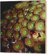 Button Polyps Wood Print