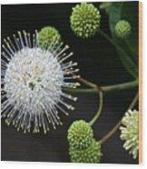 Buttonbush Flowers Wood Print