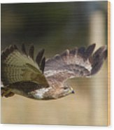 Buzzard In Flight Wood Print