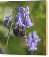 Buzzy Bee On Bluebells Wood Print