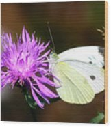 Cabbage Butterflies On Spotted Knapweed Wood Print