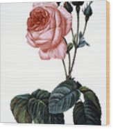 Cabbage Rose Wood Print