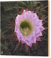 Cactus Flower Arizona 1 Wood Print