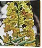 Caesalpinia Cacalaco In Huntington Desert  Gardens In San Marino-california  Wood Print