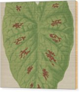 Caladium Verschaffelti Wood Print