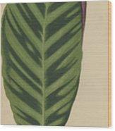 Calathea Zebrina, Maranta Zebrina Wood Print