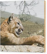 California Cougar Wood Print