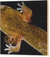 California Giant Salamander Larva Wood Print