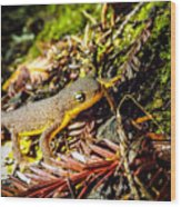 California Newt 3 Wood Print