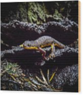 California Newt  Wood Print