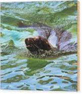 California Sea Lion-1611 Wood Print