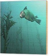 California Sea Lion In Kelp Wood Print