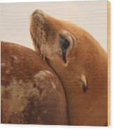 California Sea Lion Pup Resting Against Mother Wood Print by Max Allen