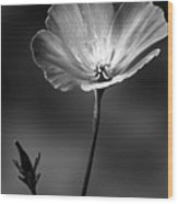 Californian Poppy Wood Print