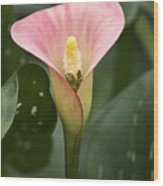 Calla In The Mist Wood Print