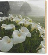 Calla Lilies Zantedeschia Aethiopica Wood Print