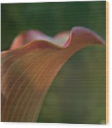 Calla Lily Close-up Wood Print