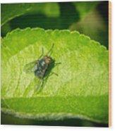 Calliphorid Resting on Apple Leaf Wood Print