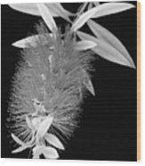 Callistemon Beauty 1 Wood Print