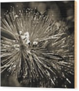 Callistemon II Wood Print