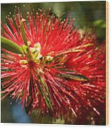 Callistemon Wood Print