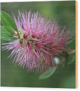 Callistemon Viminalis Taree Pink Weeping Bottlebrush Flowering Trees Of Hawaii Wood Print