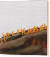 Calocera Cornea Wood Print