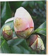 Camelia Buds Wood Print