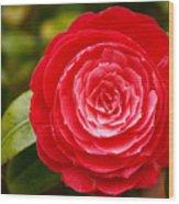 Camellia Japonica Wood Print