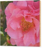 Camellias Of The South Wood Print