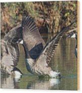 Canada Geese 5659-092217-1cr-p Wood Print