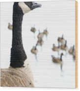 Canada Geese Goose With Wetlands Birds And Waterfowl Wood Print by Andy Smy